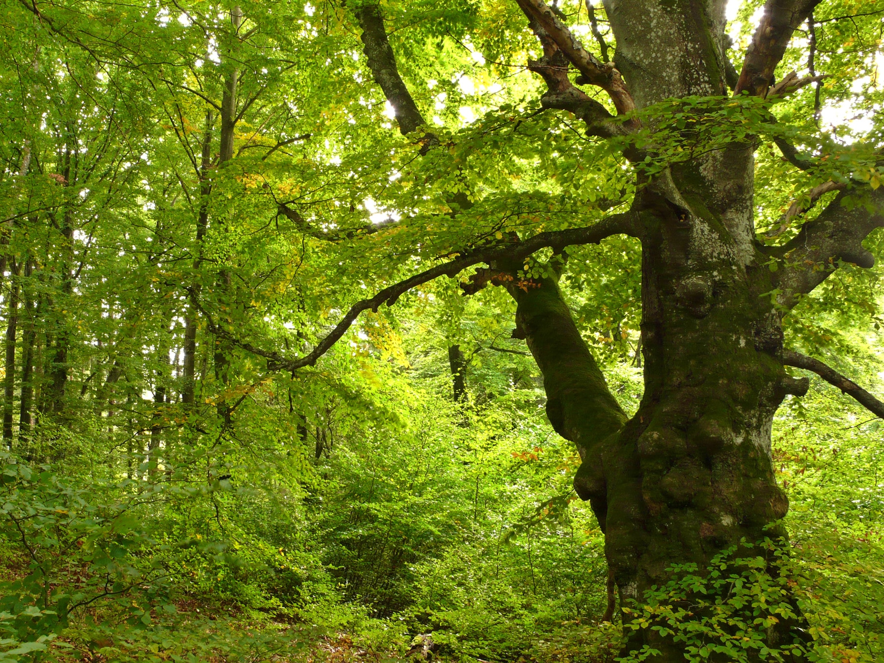 Photo shows a summer beech forest in the nature reserve on the Swabian Alb