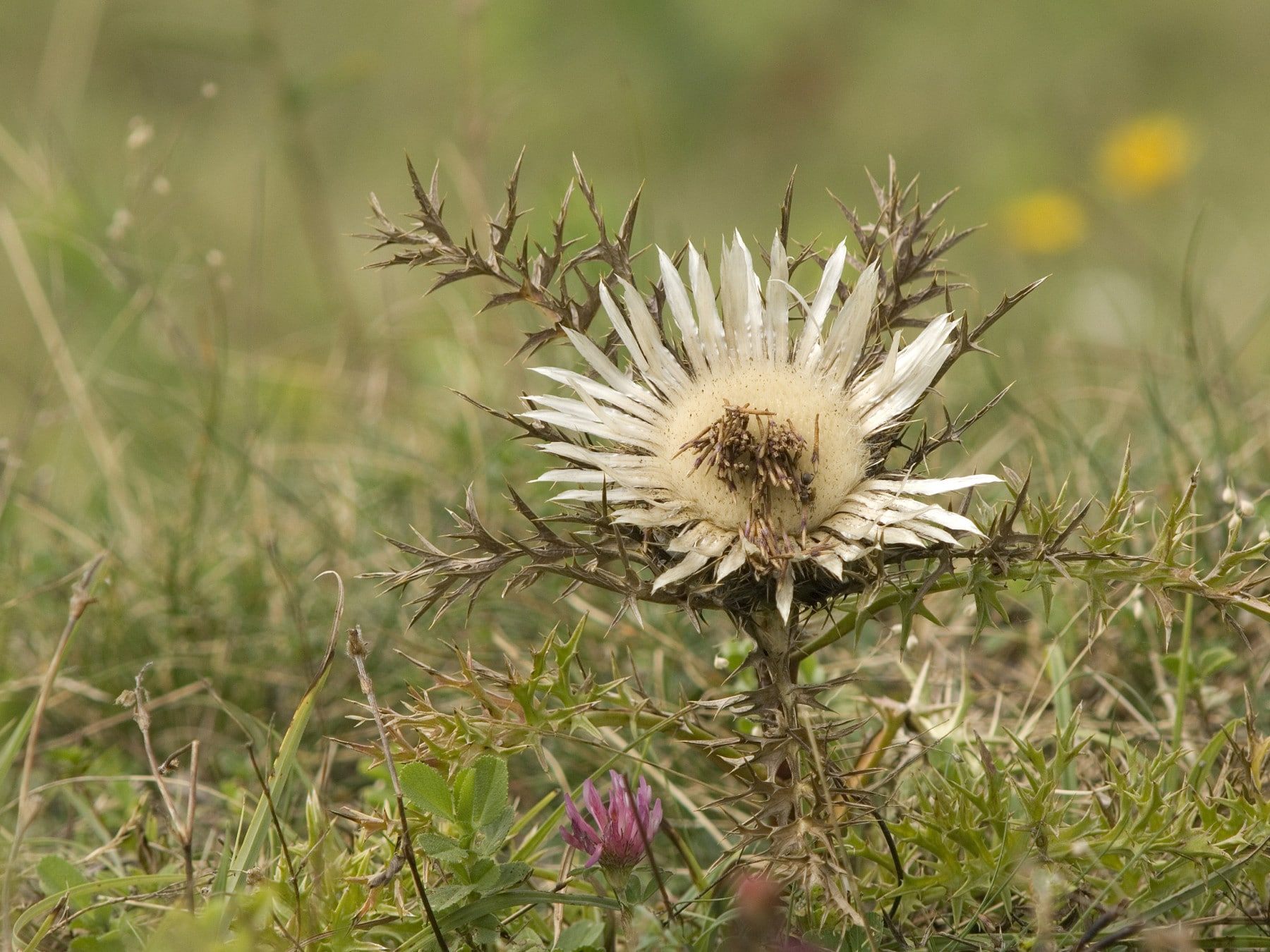 Photo shows a flowering silver thistle