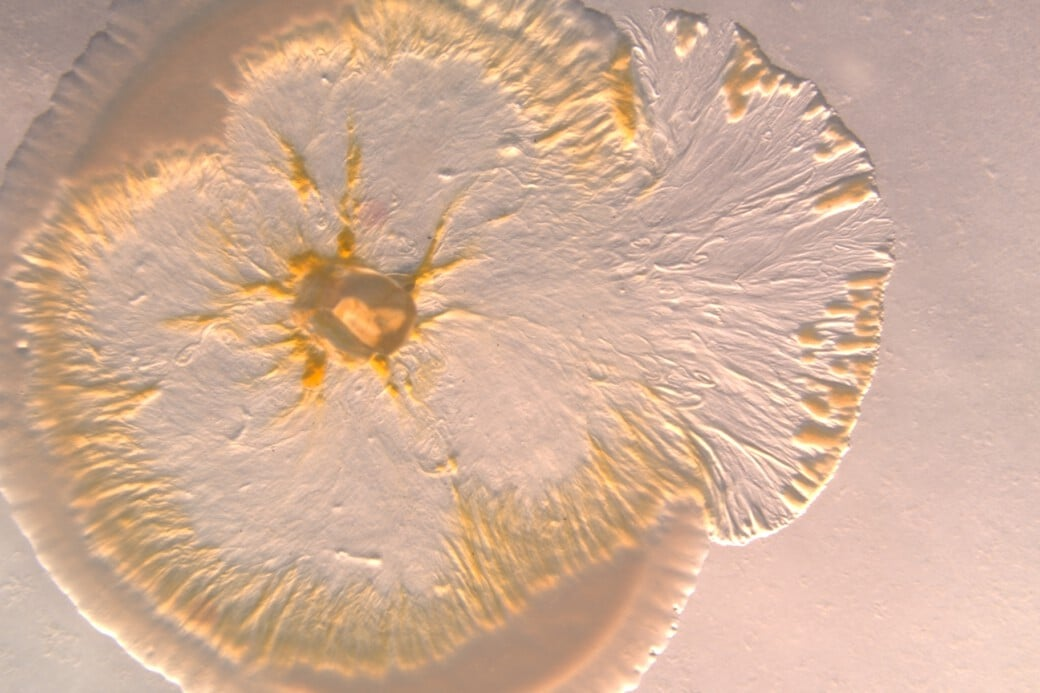Foto zeigt eine Myxobakterien-Kultur beim Fressen einer E-coli-Kultur