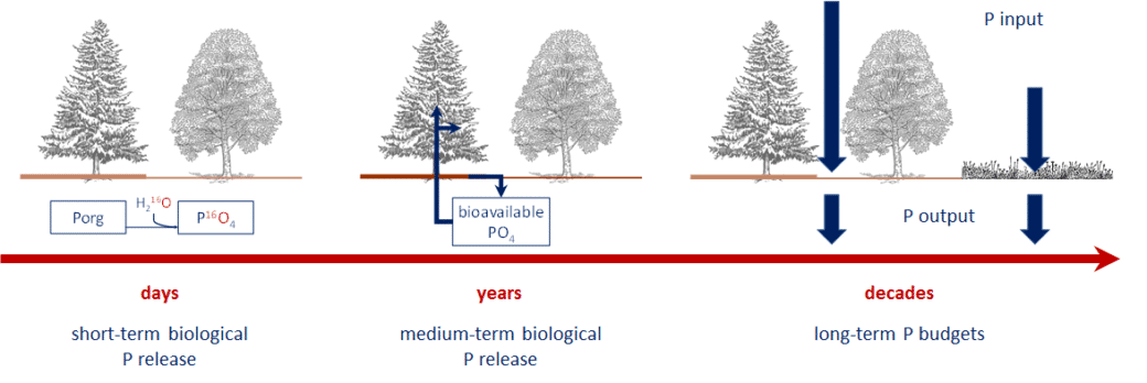Diagram showing the supply, supply and input and output of phosphorus in the ecosystem