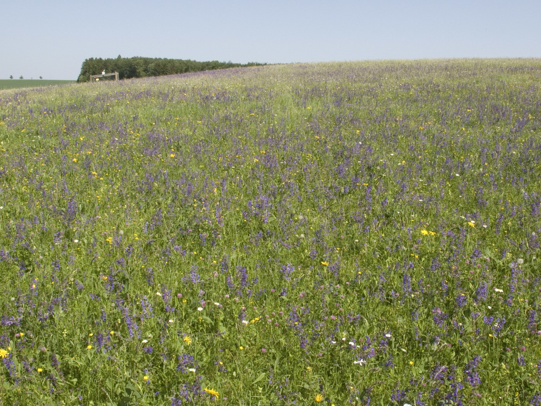 Photo shows a summer meadow with sage blossoms