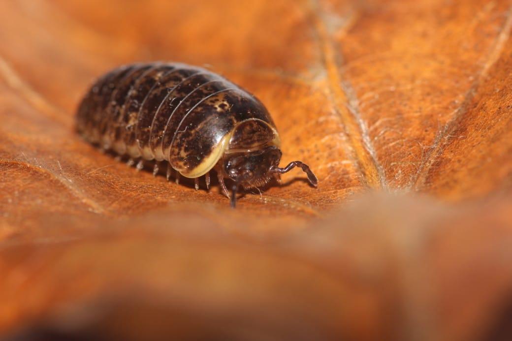 Centipede on a brown leaf