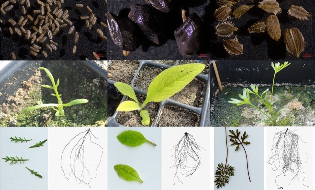Collage shows photos of seeds and seedlings.