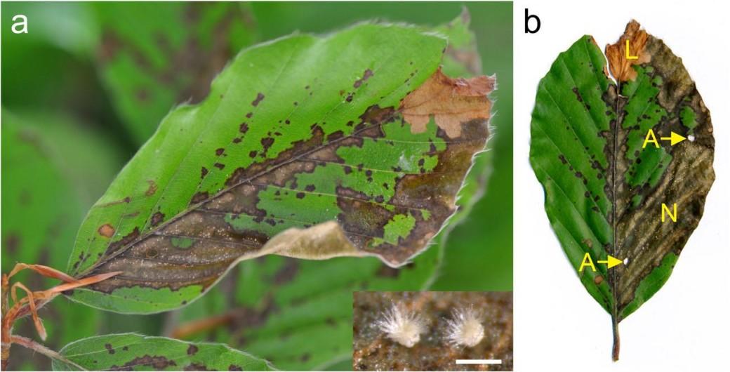 Pflanzenherbivorie ebnet invasivem Pilz den Weg ins Blatt