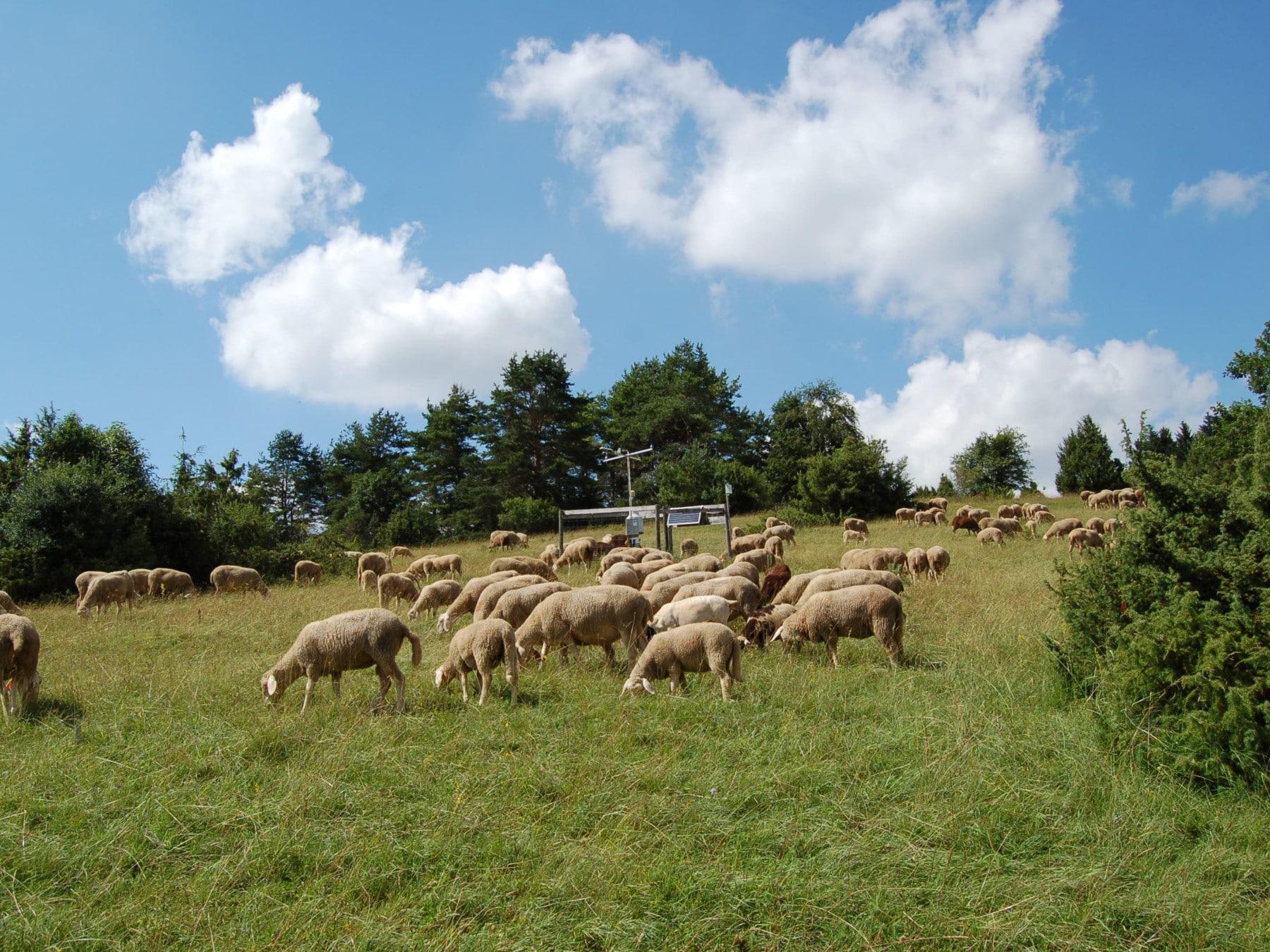 Photo shows a grazing flock of sheep on a juniper heath